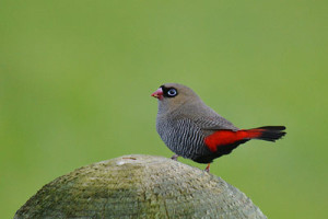 Beautiful Firetail sitting on a post