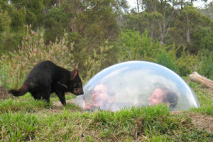 Tasmanian Devil looking at people in a dome